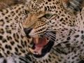 Femmina di leopardo-Debora Goretti